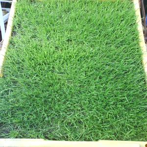 gazon en plaques et cultutre hors sol alg rie. Black Bedroom Furniture Sets. Home Design Ideas