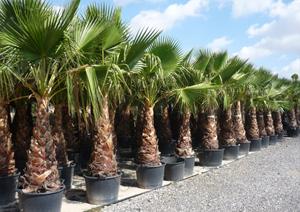 export de palmiers washingtonia et lauriers alg rie. Black Bedroom Furniture Sets. Home Design Ideas