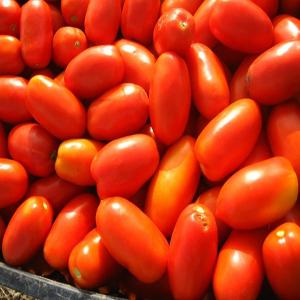 Tomate ERCOLE