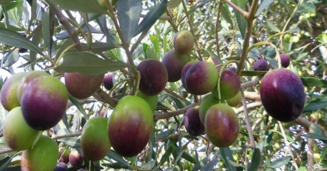 Projet de valorisation de l'olive