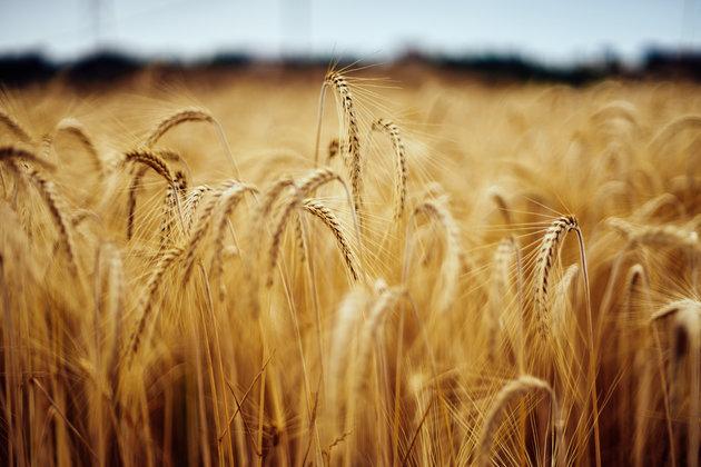 Céréales: une production de plus de 60 millions de quintaux attendue en 2019