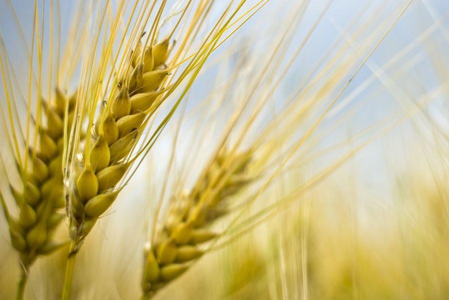Le gouvernement espère ne pas importer de blé cette année